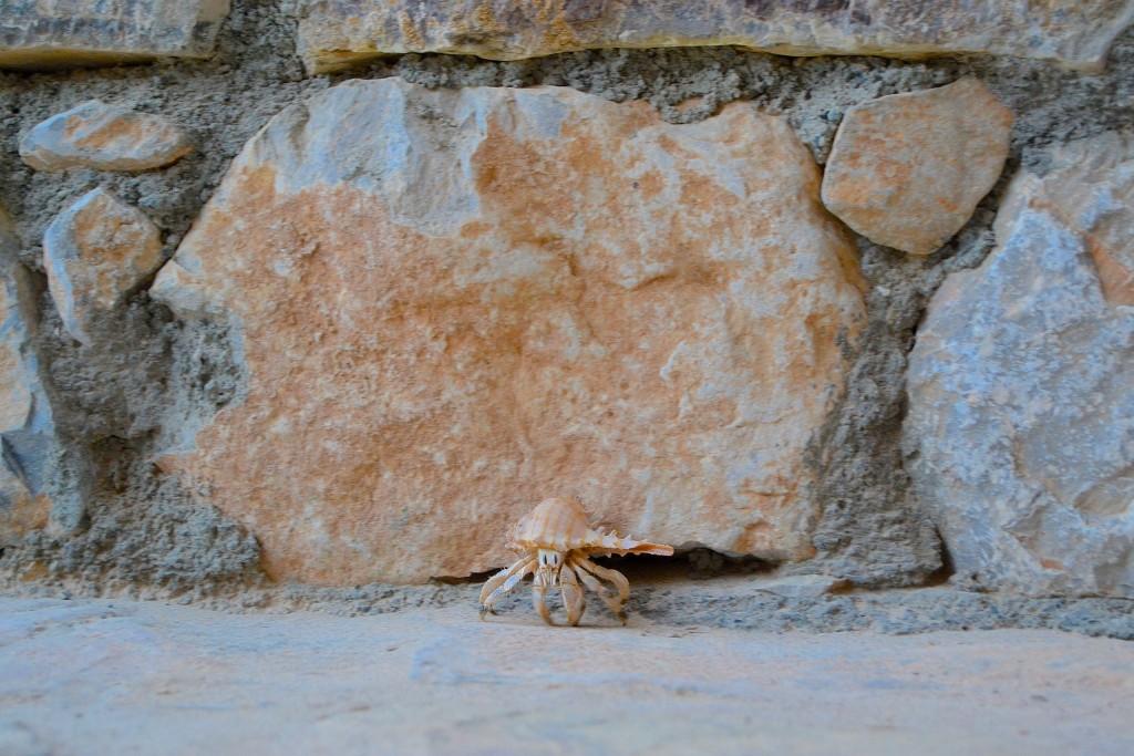 our resident crab, Oscar
